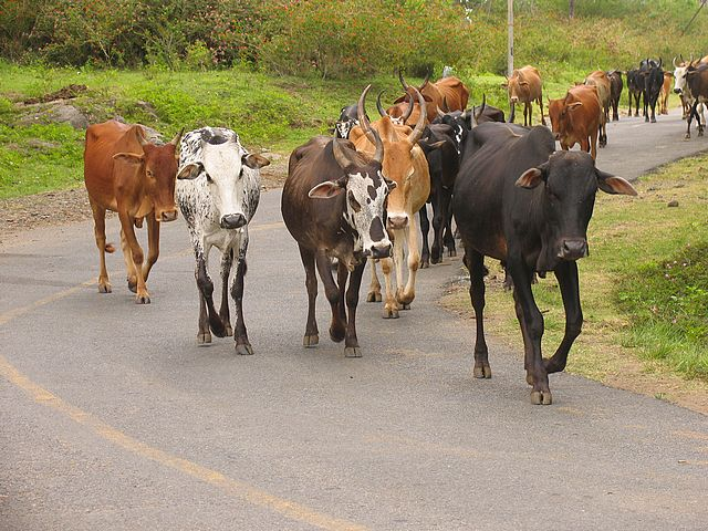 cows in road